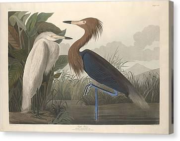 Purple Heron Canvas Print by John James Audubon
