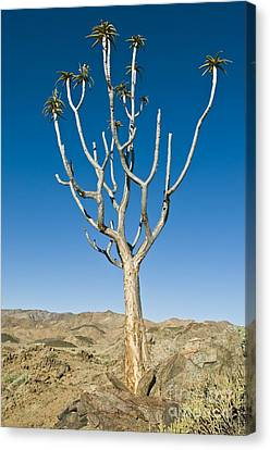 Quiver Tree Canvas Print by Peter Chadwick