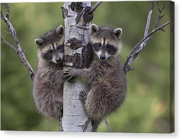 Raccoon Two Babies Climbing Tree North Canvas Print by Tim Fitzharris