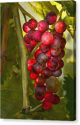 Ready For Harvest Canvas Print by Sharon Foster