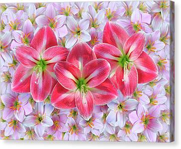 Red Amaryllis Canvas Print by Edwin Verin