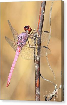 Red Dragonfly Portrait Canvas Print by Carol Groenen