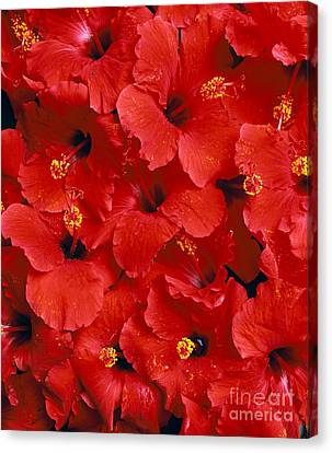 Red Hibiscus Canvas Print by Tomas del Amo - Printscapes
