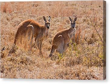 Red Kangaroo Canvas Print by B.G. Thomson