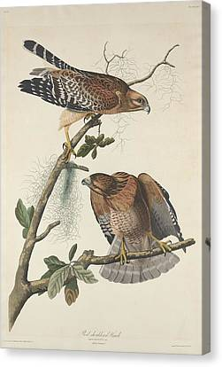 Red Shouldered Hawk Canvas Print by John James Audubon