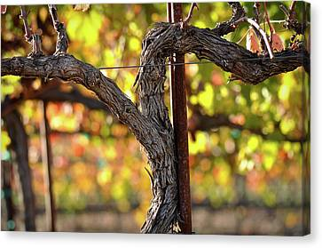 Red Wine Vine Canvas Print by Brandon Bourdages
