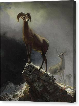 Rocky Mountain Sheep Or Big Horn, Ovis, Montana Canvas Print by Albert Bierstadt