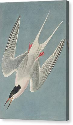 Roseate Tern Canvas Print by John James Audubon