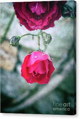 Roses Canvas Print by Silvia Ganora