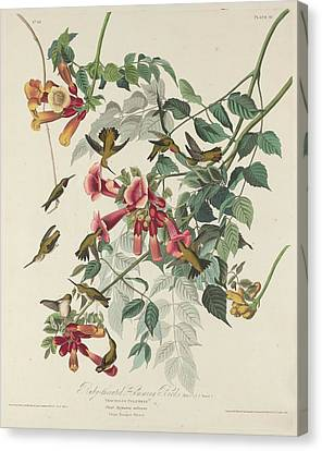 Ruby-throated Hummingbird Canvas Print by John James Audubon