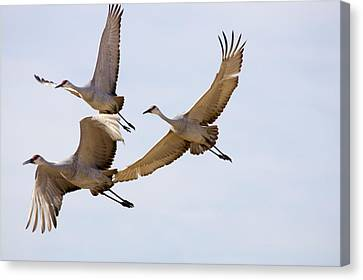 Sandhill Cranes In Flight Canvas Print by Panoramic Images