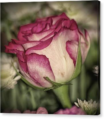 Single Rose Canvas Print by Martin Newman