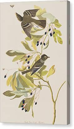 Small Green Crested Flycatcher Canvas Print by John James Audubon