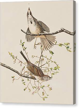 Song Sparrow Canvas Print by John James Audubon