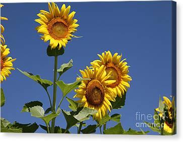 Sunflowers Canvas Print by Amanda Barcon