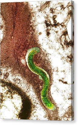 Syphilis Bacterium (treponema Pallidum) Canvas Print by Biomedical Imaging Unit, Southampton General Hospital