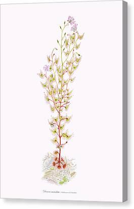 Tall Sundew Canvas Print by Scott Bennett