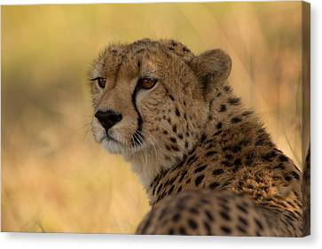 Tears Of A Cheetah Canvas Print by Ashley Vincent