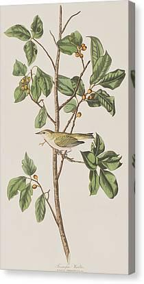 Tennessee Warbler Canvas Print by John James Audubon