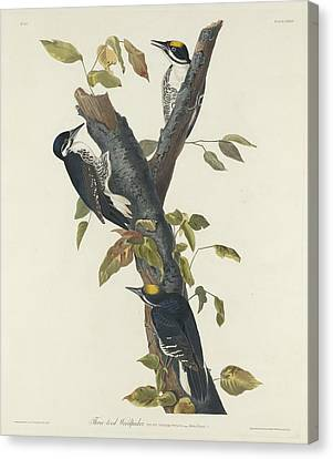 Three-toed Woodpecker Canvas Print by John James Audubon