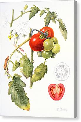 Tomatoes Canvas Print by Margaret Ann Eden