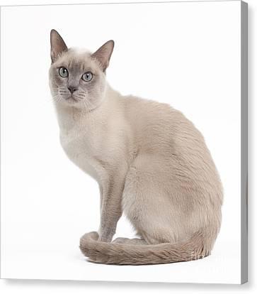 Tonkinese Cat Canvas Print by Jean-Michel Labat