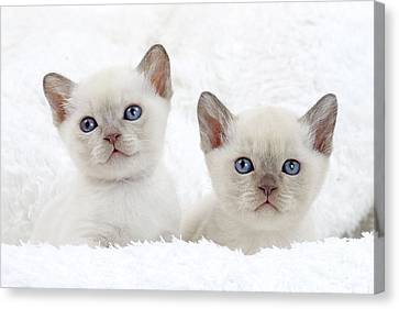 Tonkinese Kittens Canvas Print by Jean-Michel Labat