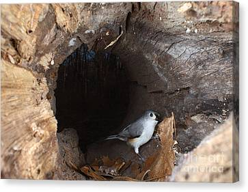 Tufted Titmouse In A Log Canvas Print by Ted Kinsman