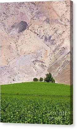 Vines In The Desert Canvas Print by James Brunker
