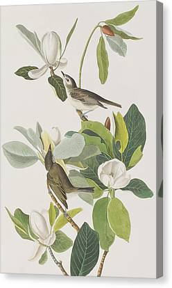 Warbling Flycatcher Canvas Print by John James Audubon