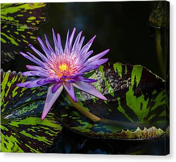 Water Lily Canvas Print by Don L Williams
