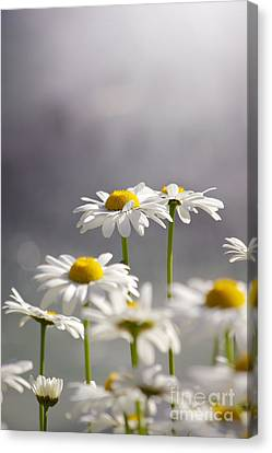 White Daisies Canvas Print by Carlos Caetano