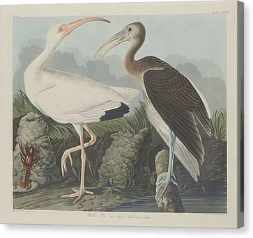 White Ibis Canvas Print by John James Audubon