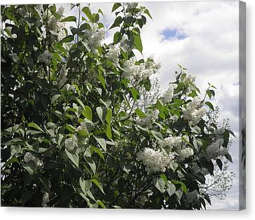 White Lilacs Canvas Print by Kate Gallagher