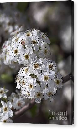 White Spring Blossom Canvas Print by Joy Watson