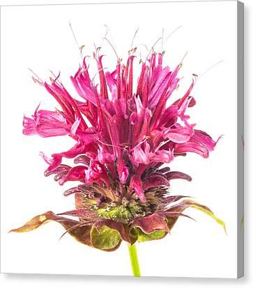 Wild Bergamot Also Known As Bee Balm Canvas Print by Jim Hughes