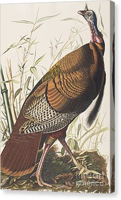 Wild Turkey Canvas Print by John James Audubon