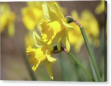 Yellow Canvas Print by Mark Severn