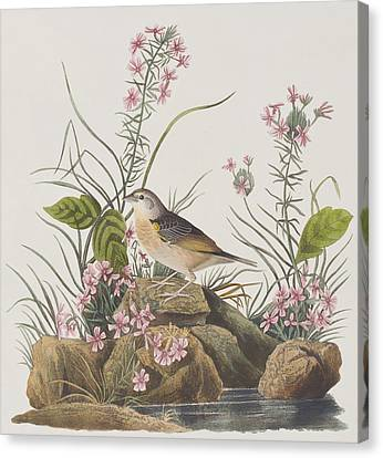 Yellow-winged Sparrow Canvas Print by John James Audubon