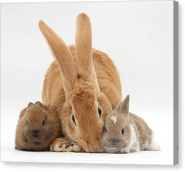Rabbits Canvas Print by Mark Taylor
