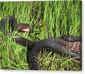 Coachwhip Snakes Waiting Canvas Print by John Myers