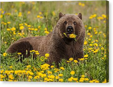 A Brown Bear Forages On Dandelions Canvas Print by John Hyde