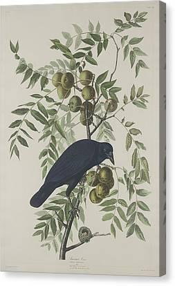 American Crow Canvas Print by John James Audubon