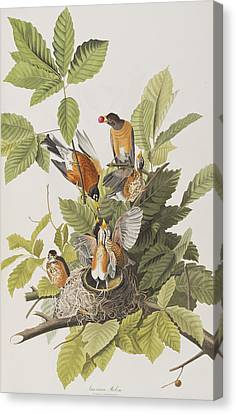 American Robin Canvas Print by John James Audubon