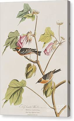 Bay Breasted Warbler Canvas Print by John James Audubon