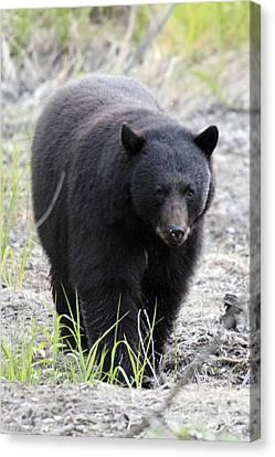 Black Bear At One Mile Lake Pemberton Canvas Print by Pierre Leclerc Photography