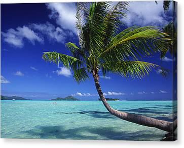 Bora Bora, Palm Tree Canvas Print by Ron Dahlquist - Printscapes