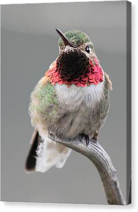Broad-tailed Hummingbird Canvas Print by Shane Bechler