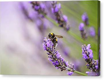 Bumblebee And Lavender Canvas Print by Nailia Schwarz