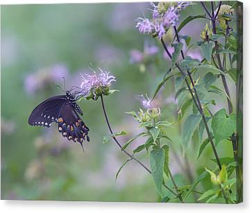 Butterfly Canvas Print by June Marie Sobrito